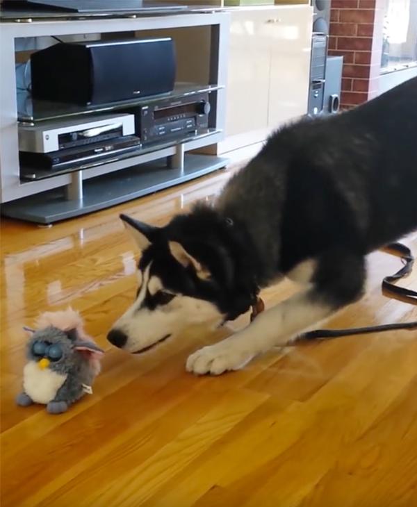 goofy husky isn t