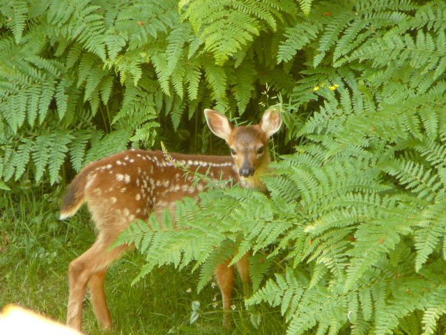 Drive Carefully, it's Fawn Season!