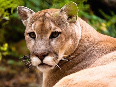 Cougar sighting in Oak Bay