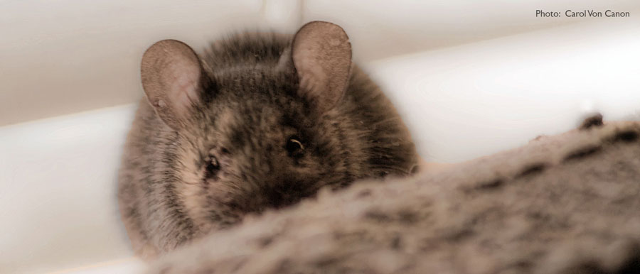 Mice - Northwest Center for Alternatives to Pesticides