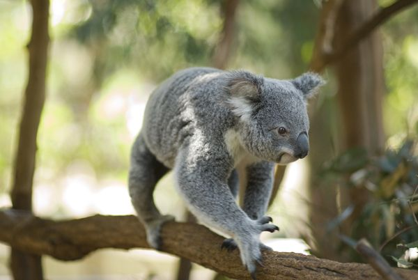 Koala and River Cruise - One-Way w/ Entry into Lone Pine