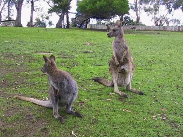 Hobart Day Tour w/ Bonorong Wildlife Park