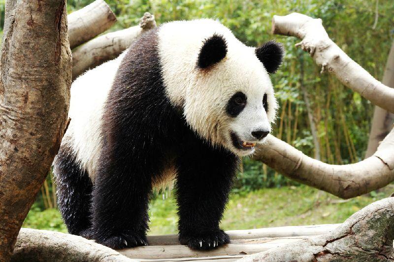 Tour of Panda Keeper Program at Dujiangyan Panda Base