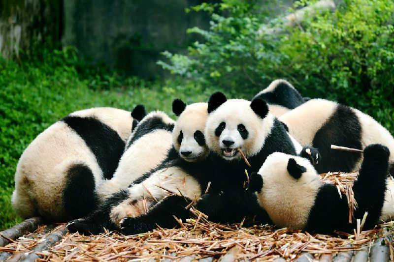 Chengdu Panda Base & Leshan Giant Buddha Small Group Tour