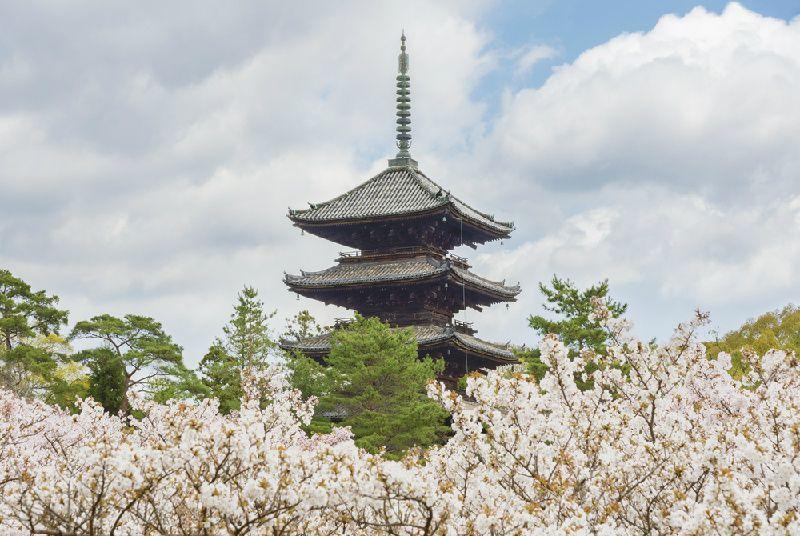 1-Day Kyoto Cherry Blossom Tour