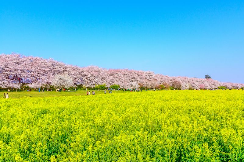 Cherry, Rapeseed & Peach Blossoms Tour From Shinjuku