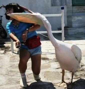 When Angry Birds Attack Pelican Takes a Bite Out of Girls Head  Funny  Faxo