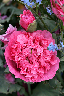 Papaver_pink_heirloom_cl
