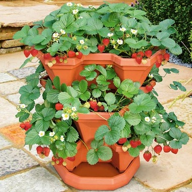 Apartment Plants Strawberry Strawberries Best Plants for Apartment Balcony Patio Outdoor