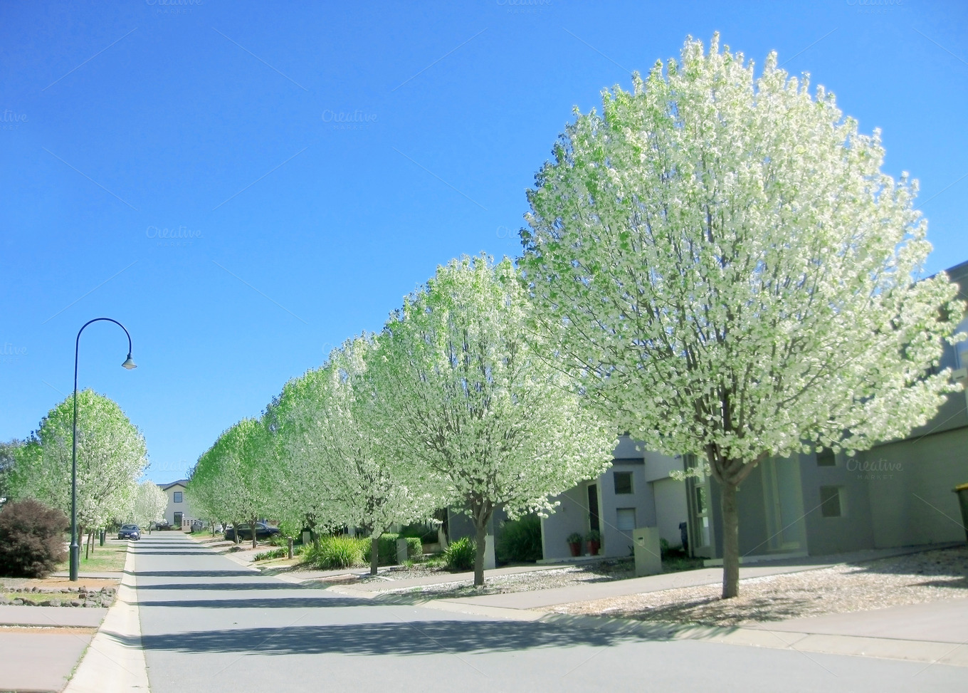 White Poplar Trees In Spring Nature Photos On Creative
