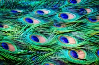 Peacock Feathers Background ~ Abstract Photos on Creative ...