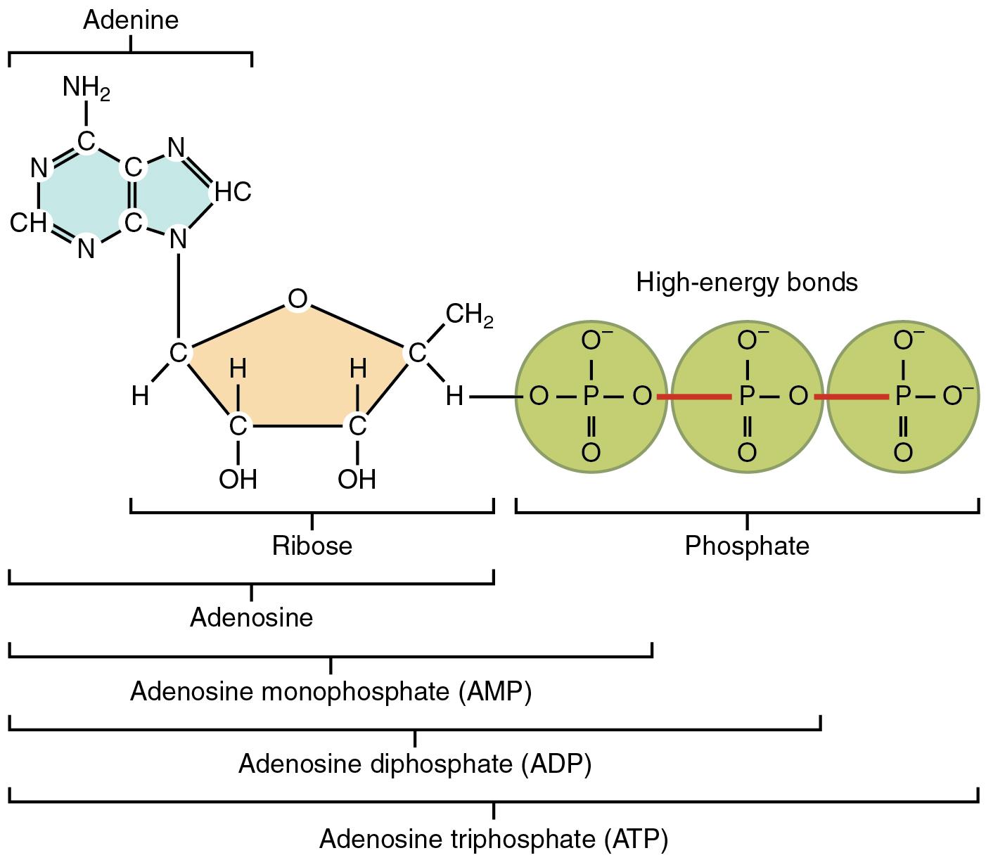 Adenosintriphosphat Atp Energieeinheit Des Lebens