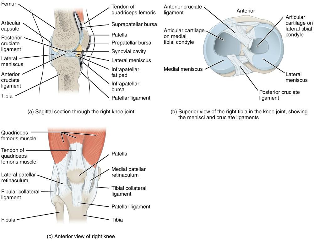 medium resolution of oss re strukturen und gelenkfl chen der patella