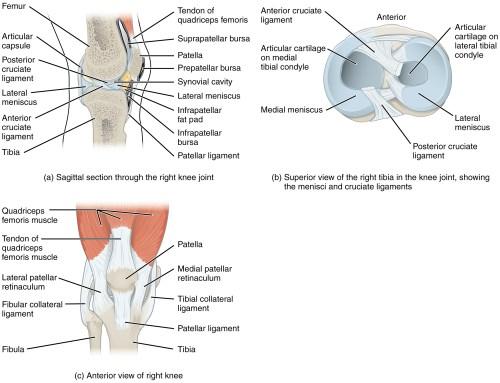 small resolution of oss re strukturen und gelenkfl chen der patella