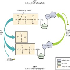 Diagram Of The Atp Molecule 1990 Jeep Wrangler Yj Wiring Adenosine Triphosphate  Definition And Synthesis