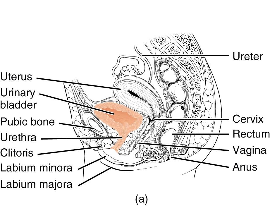 Ureter, Urethra, Urinary Bladder — The Urogenital System