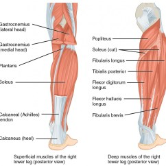 Medial Lower Leg Muscles Diagram Different Parts Of Plant The And Foot Online Medical Libtary Part