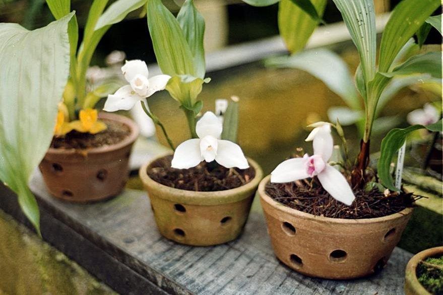 La monja blanca puede vivir en una maceta con agujeros para el drenaje, que no contenga tierra sino un compuesto de chut, broza y residuos vegetales. (foto Prensa Libre: Hemeroteca PL).