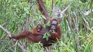 Indonesian Borneo - Orangutan Conservation Tour