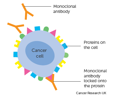 Image result for monoclonal antibodies therapy for cancer