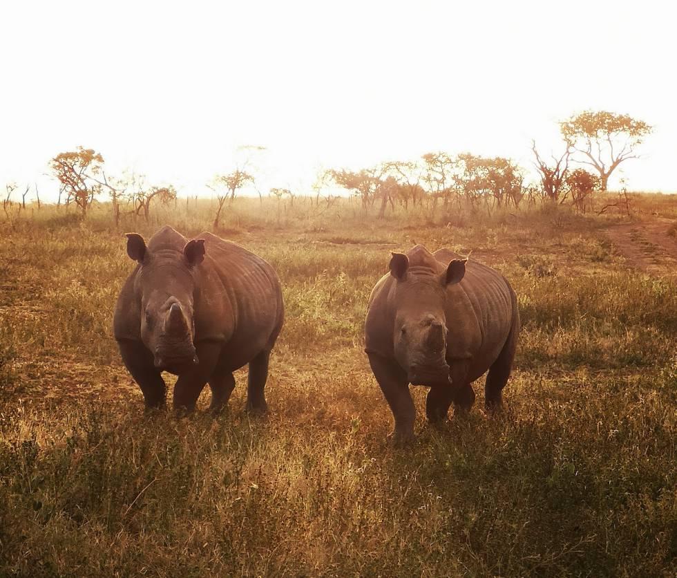 Pareja de rinocerontes blancos, madre e hija.