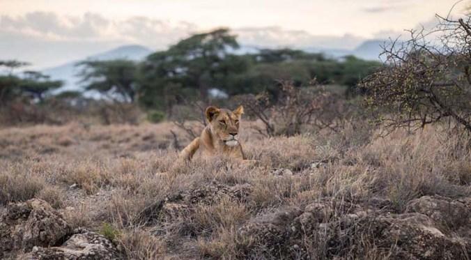 Lurking Lions