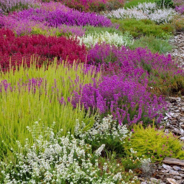 evergreen heather plant collection