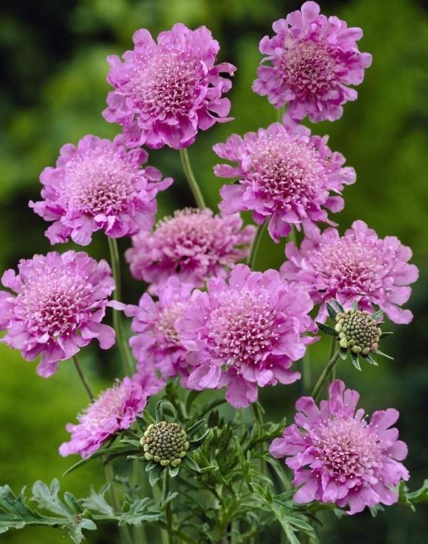 Scabious Pink Mist Scabiosa Pincushion Flower