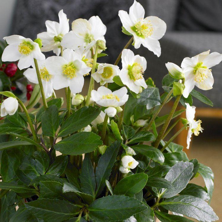 Helleborus Niger White Hellebore In Bud