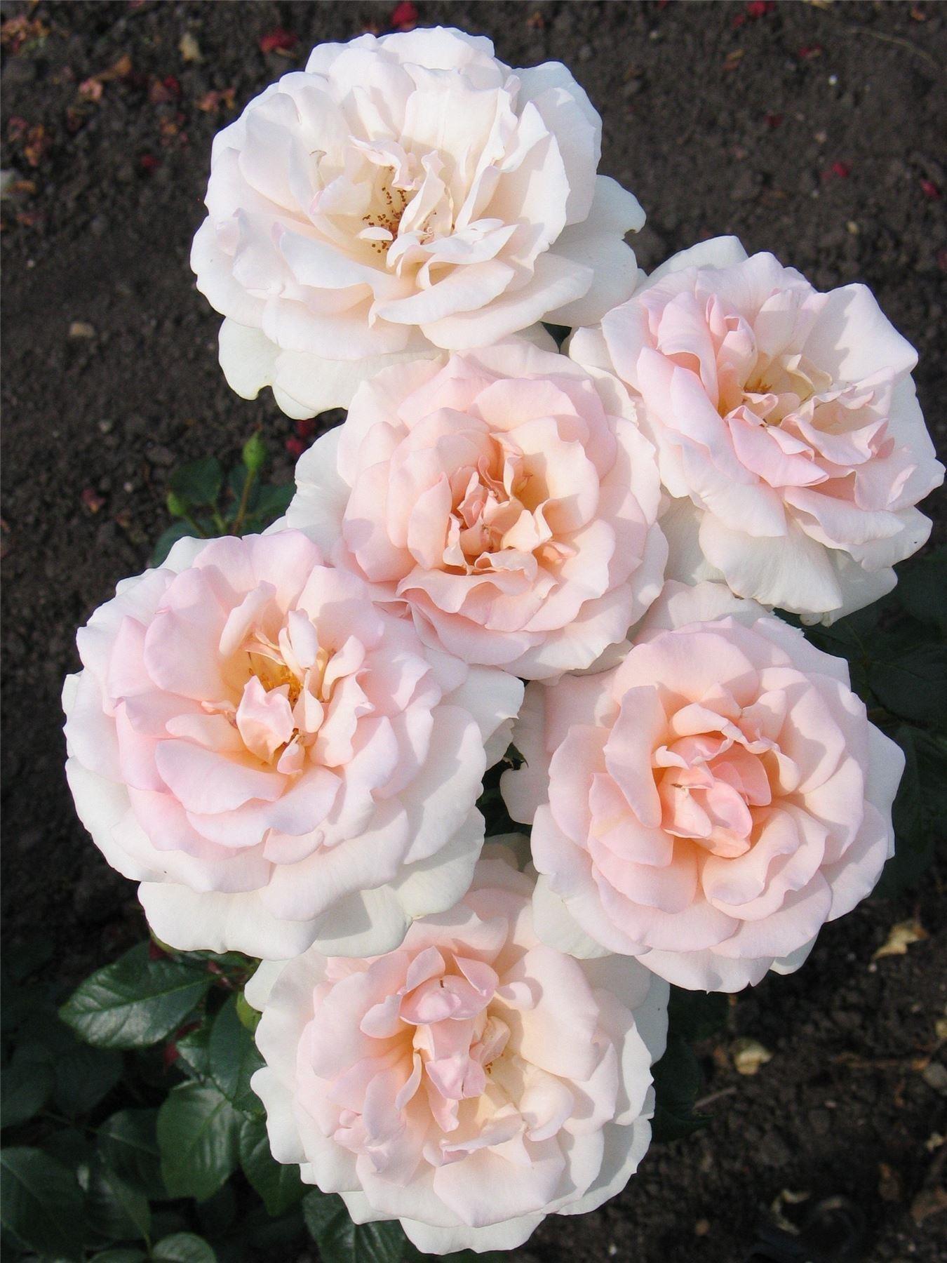 Rose A Whiter Shade Of Pale Hybrid Tea Rose