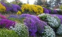 Alpine Plant Collection - Pack of 10 Alpine Rockery Plants