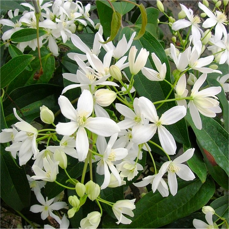 Clematis Armandii  Fragrant Evergreen Climbers