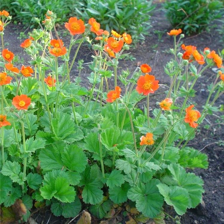 Geum Borisii Tangerine Avens In Bud