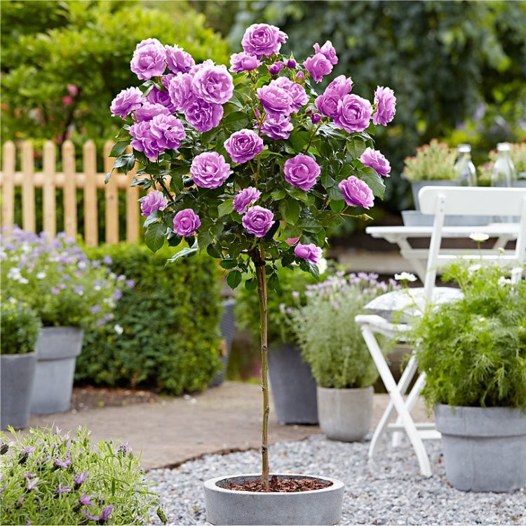 Rose Tree Minerva  LARGE Standard Tree
