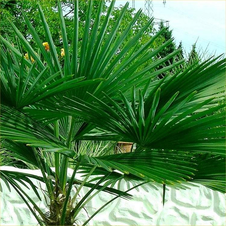 PAIR of Large Trachycarpus fortunei