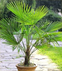 PAIR of Large Trachycarpus fortunei