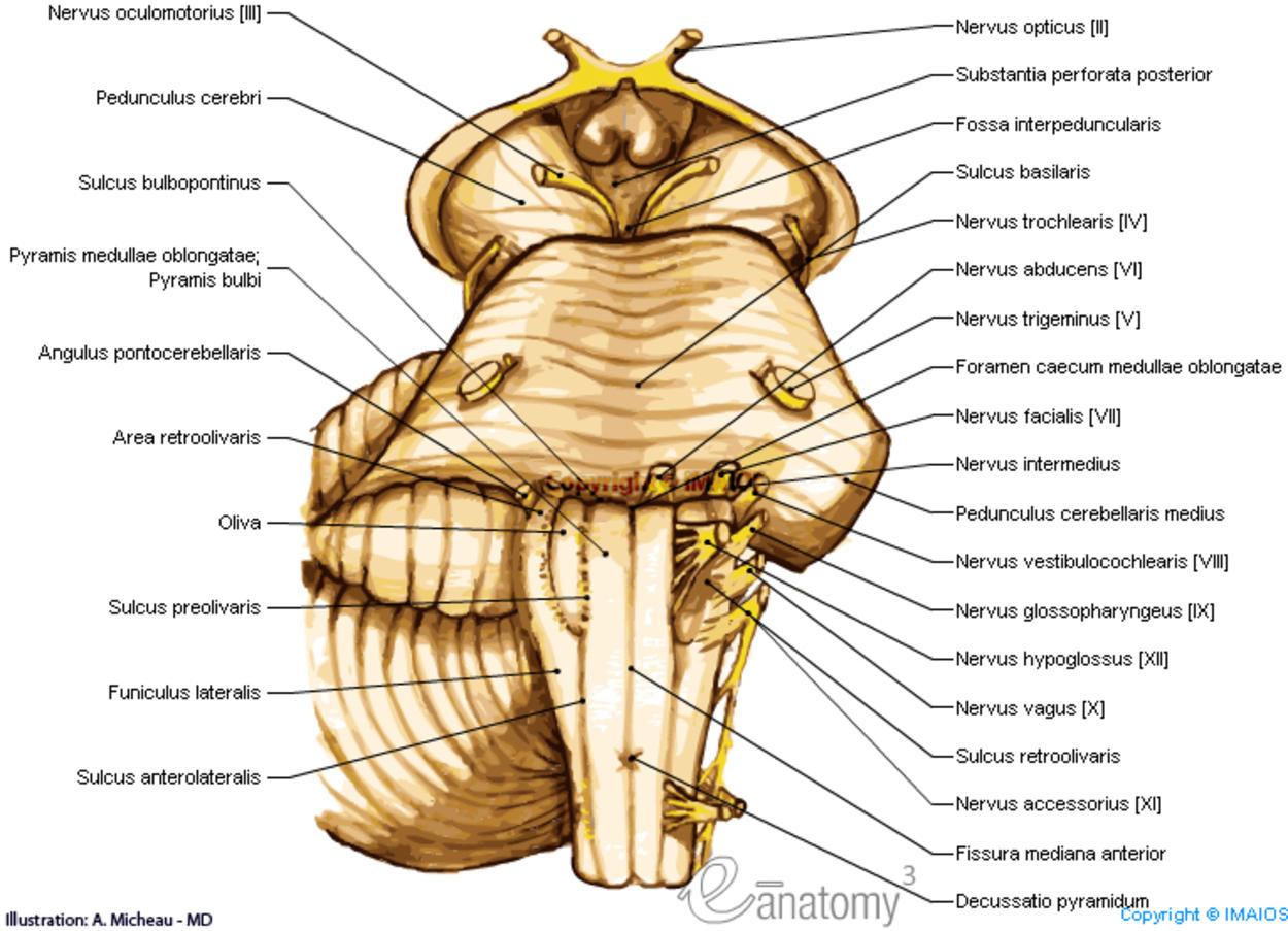 brain diagram pons parallel wiring subwoofer anatomiediagramme
