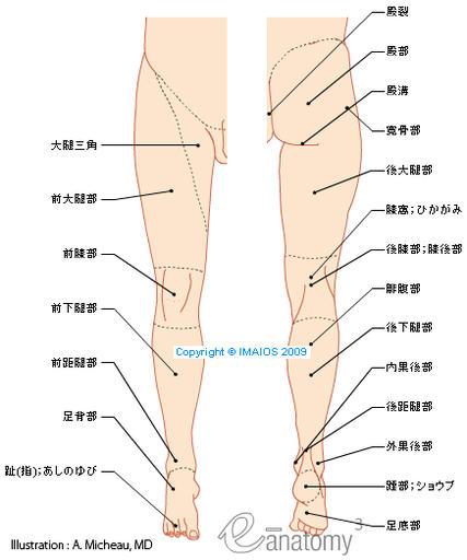 下肢の解剖學