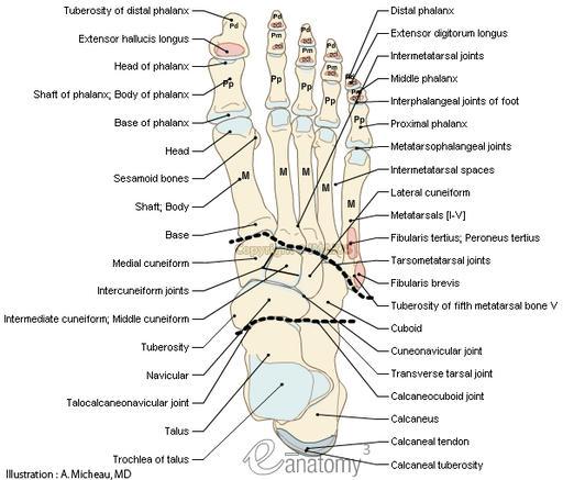 dog anatomy diagram lymph nodes 2002 nissan altima engine of lower extremity