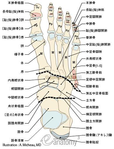 coxal bone diagram electric range oven wiring 下肢解剖图