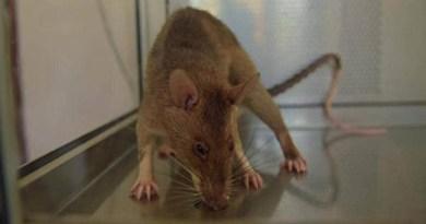 فئران عملاقة تغزو المنازل في بريطانيا بعد غلق المطاعم بسبب كورونا