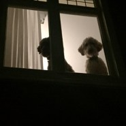 Labradoodles on watch (2015)