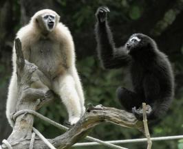 Monkeys At Gibbon Wildlife Sanctuary Jorhat Assam