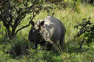 Rhinoceros At Gibbon Wildlife Sanctuary Jorhat Assam