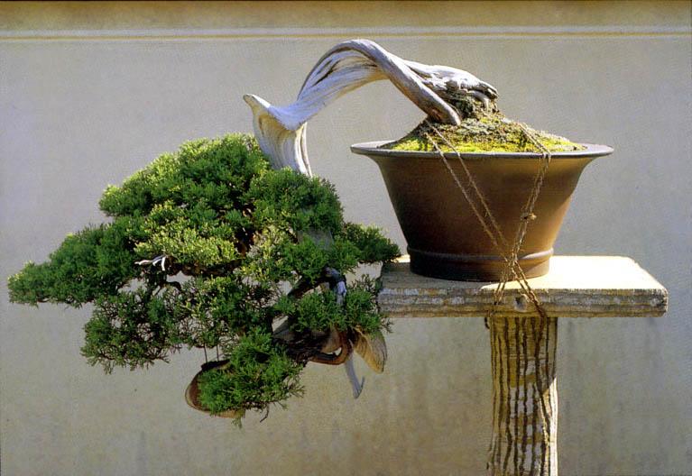 Семена бонсай из китая как вырастить