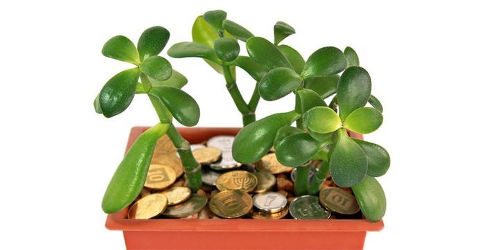 Почему краснеют листья у денежного дерева причины болезни