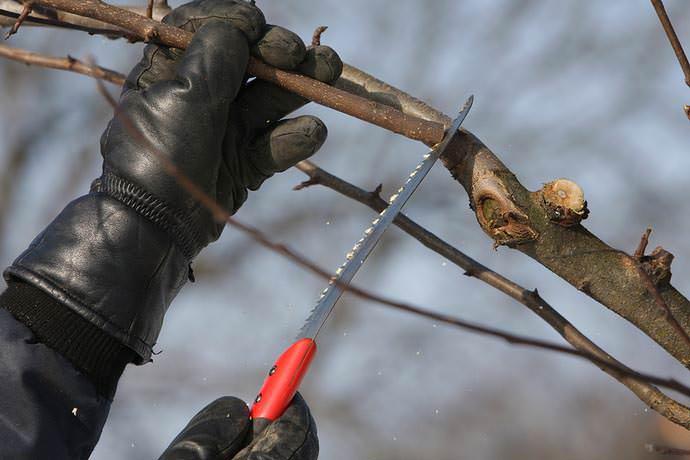 Бере боск и другие виды груши бере. Особенности выращивания поздней груши бере боск