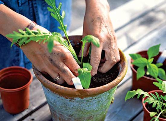 Как вырастить рукколу на подоконнике советы новичкам