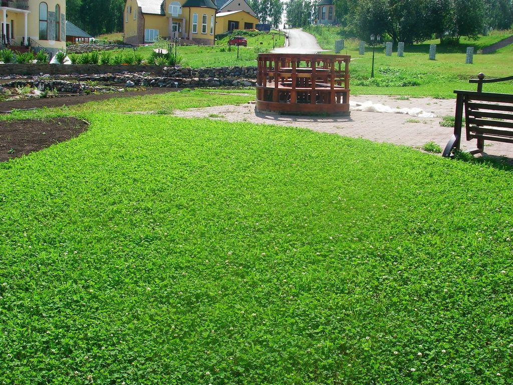 Подскажите как сажать белый клевер для газона