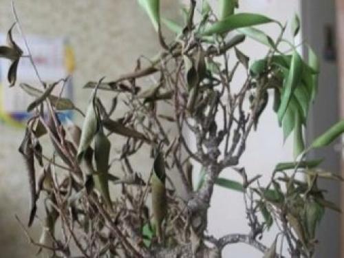 Proč ficus je žluté a podzimní listí. Hlavní důvody žloutnutí listů 14